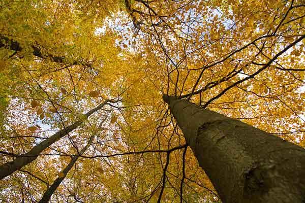 Høje bøge i efterårs farver