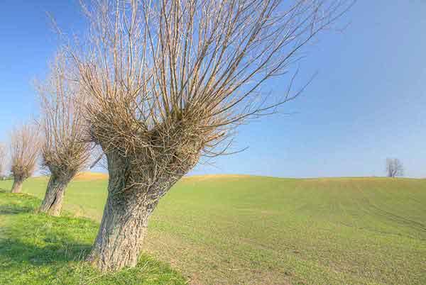 Gamle piletræer på Hindsholn